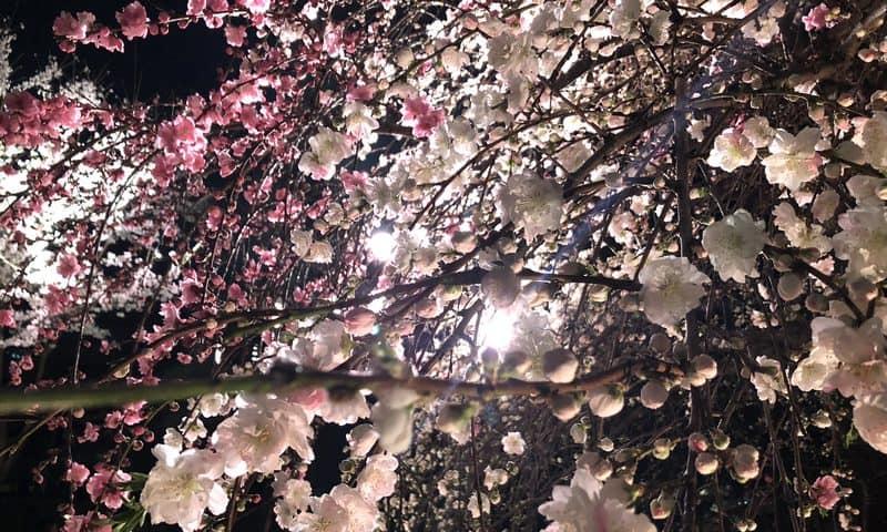 広島で夜桜、お弁当広げてたっぷり堪能