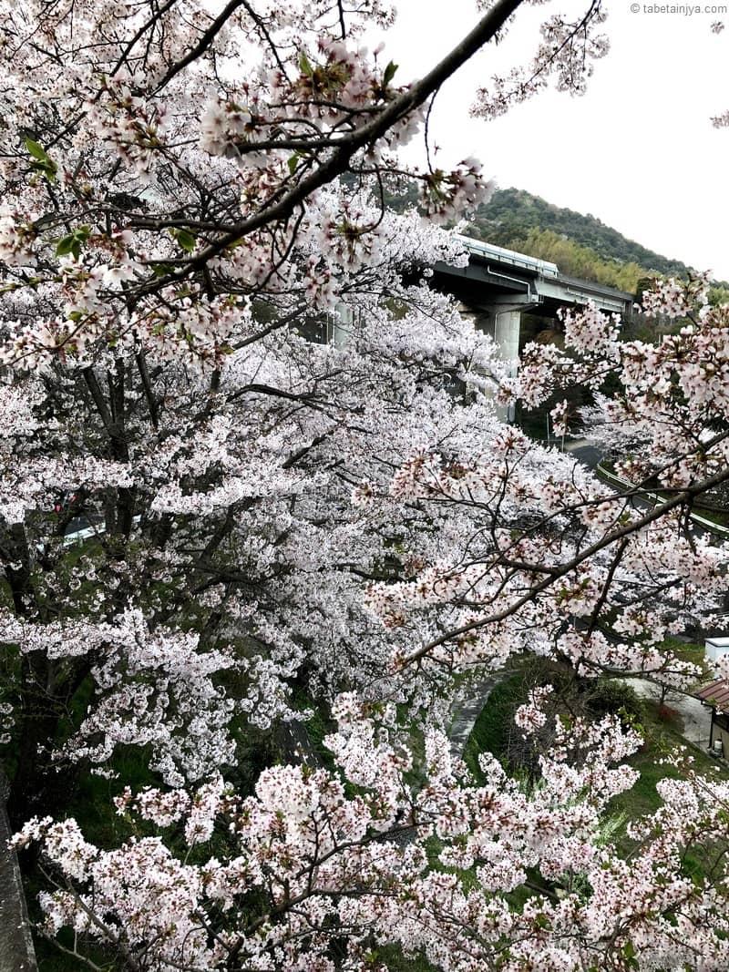 桜の癒しパワーに包まれる