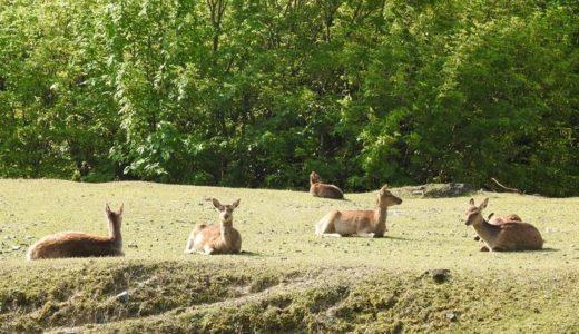 鹿の集会 in 宮島