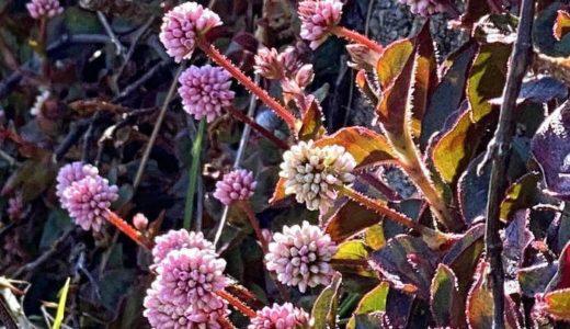 ヒメツルソバ、ラズベリーみたいな形のピンク花
